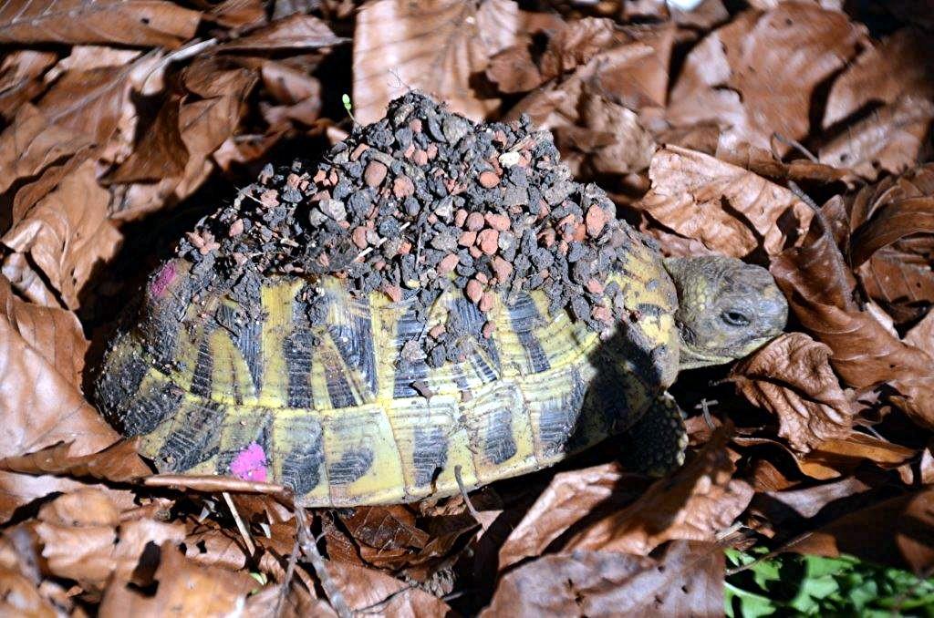 DSC_6344 9-jähriges Weibchen, eben aus dem Substrat aufgetaucht!