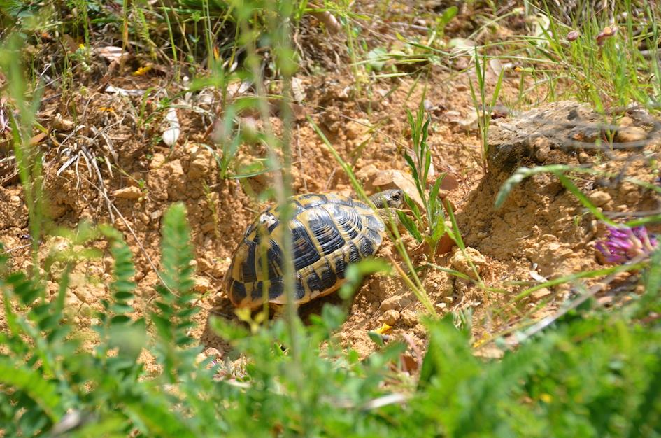 ca. 10-jähriges Männchen Toskana 2014